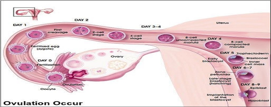 Ovulation-Cycle-Female_Reproductove-Organ